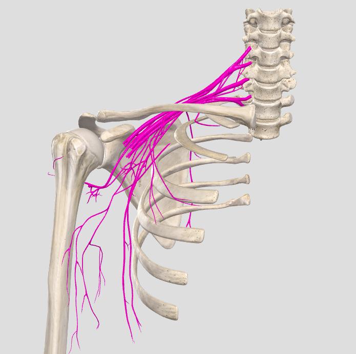 plesso-brachiale-vista-frontale